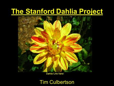 The Stanford Dahlia Project Tim Culbertson Dahlia 'Lirio Vario'