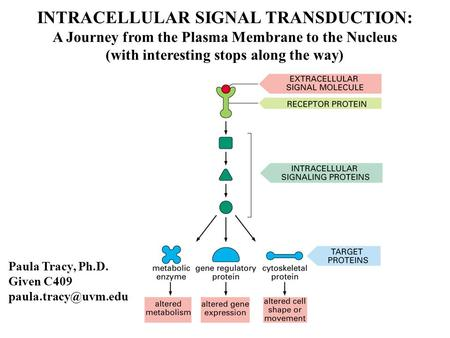 INTRACELLULAR SIGNAL TRANSDUCTION: A Journey from the Plasma Membrane to the Nucleus (with interesting stops along the way) Paula Tracy, Ph.D. Given C409.
