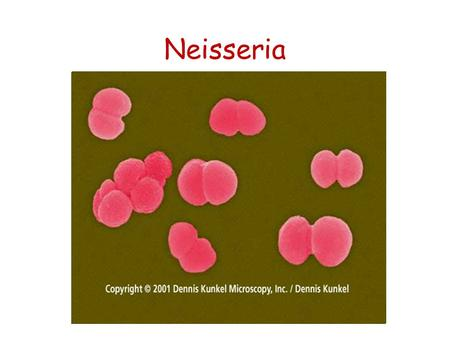 Neisseria. -Colonial morphology -Microscopic appearance - serogrouping of Neisseria - Biochemical tests of Neisseria Neisseria.