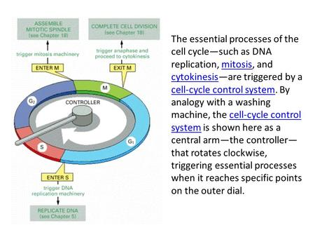 The essential processes of the cell cycle—such as DNA replication, mitosis, and cytokinesis—are triggered by a cell-cycle control system. By analogy with.