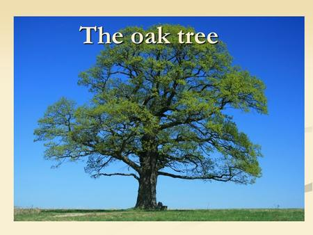 The oak tree.