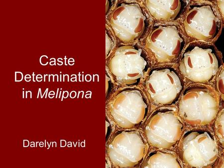 Caste Determination in Melipona Darelyn David. Overview Eusocial insects Caste determination in Melipona Confounding factors Conclusions.