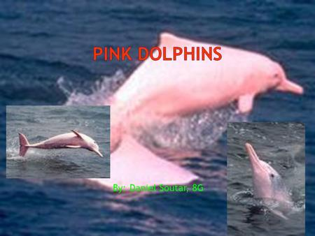 By: Daniel Soutar, 8G. The Indo-Pacific Humpback Dolphin  has a long beak, large melon, and well-rounded flippers. The dorsal fin rests on a 'hump',