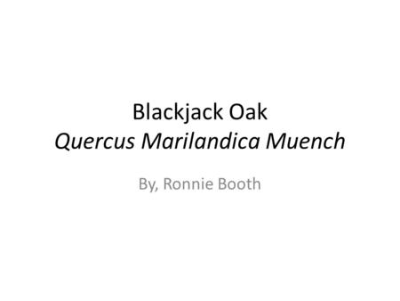 Blackjack Oak Quercus Marilandica Muench By, Ronnie Booth.
