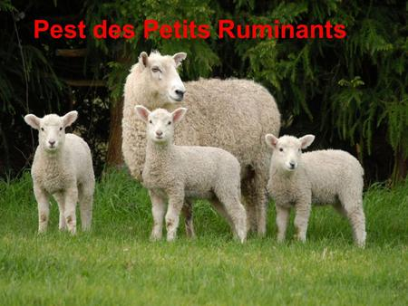 Pest des Petits Ruminants. Pest of Small Ruminants Pest of Sheep and Goats Stomatitis-Pneumoenteritis Complex or Syndrome Pseudorinderpest of Small Ruminants.