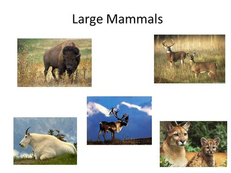 Large Mammals. White-Tailed Deer Habitat: adaptable creatures Feeding Habits: herbivores, forbs, browse, shrubs, acorns, fungi, grasses Life cycle: 1.Rut-