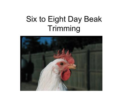 Six to Eight Day Beak Trimming. Eighteen Week Old Pullet Trimmed With This Method.