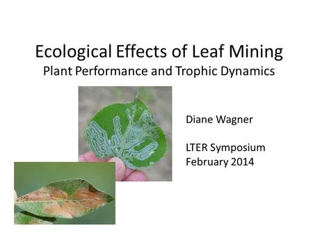 Ecological Effects of Leaf Mining Plant Performance and Trophic Dynamics Diane Wagner LTER Symposium February 2014.