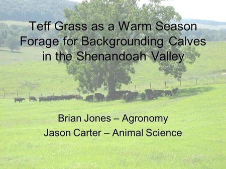 Teff Grass as a Warm Season Forage for Backgrounding Calves in the Shenandoah Valley Brian Jones – Agronomy Jason Carter – Animal Science.