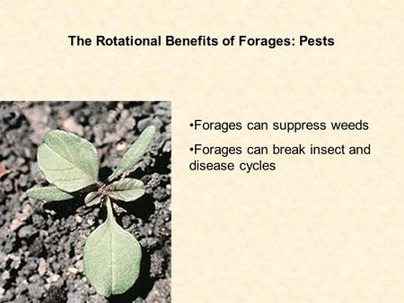 The Rotational Benefits of Forages: Pests Forages can suppress weeds Forages can break insect and disease cycles.