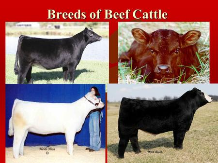 Breeds of Beef Cattle The Beef Industry ã ãProduces 45% of all livestock cash receipts. ã ãAn average person may consume 100 or more lbs. Of beef per.