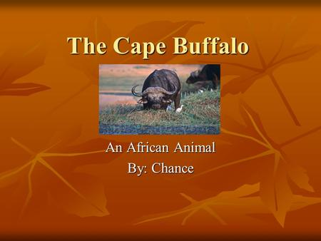 The Cape Buffalo An African Animal By: Chance Habitat Southern, Northern, and Eastern parts of Africa Southern, Northern, and Eastern parts of Africa.