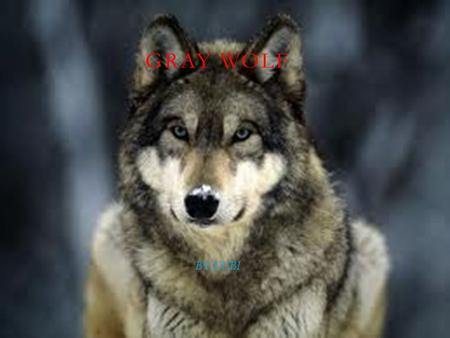 GRAY WOLF BY:KUBI. SCIENTIFIC NAME: CANIS LUPUS  Member of the dog family, including;  Dogs, foxes, jackals and coyotes  Three Species of wolves –