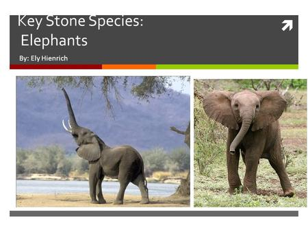 " Key Stone Species: Elephants By: Ely Hienrich. Key Stone Species  What is a Key Stone Species?  ""A keystone species is a plant or animal that plays."