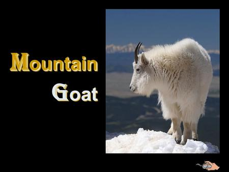 M ountain G oat M ountain G oat The most agile of all mountain mammals, the mountain goat moves confidently on rocky ledges where they are safe from.