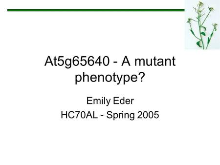 At5g65640 - A mutant phenotype? Emily Eder HC70AL - Spring 2005.