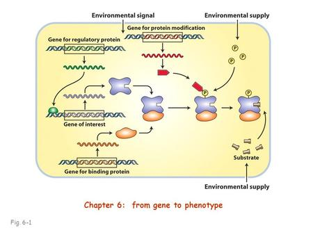 Fig. 6-1 Chapter 6: from gene to phenotype. Using Neurospora, Beadle & Tatum showed that genes encode enzymes and that most enzymes work in biochemical.