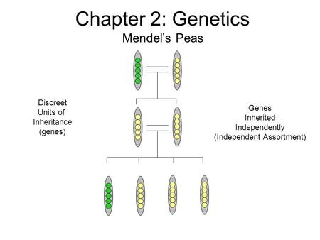 Chapter 2: Genetics Mendel's Peas Discreet Units of Inheritance (genes) Genes Inherited Independently (Independent Assortment)
