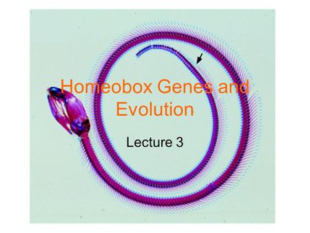 Homeobox Genes and Evolution Lecture 3. Hox Gene Function 5' 3' Gene A Gene B Gene C Gene D.