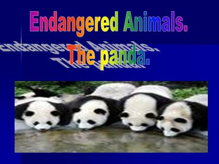 Threats to the Survival of the Giant Panda Wild Giant Pandas are found only in a number of relatively small areas within China. Wild Giant Pandas are.