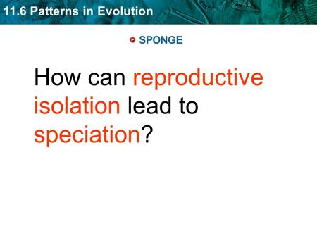How can reproductive isolation lead to speciation?