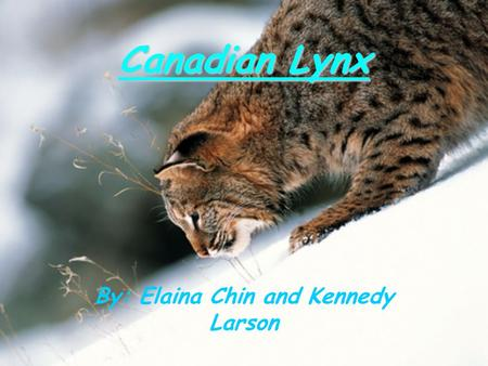 Canadian Lynx By: Elaina Chin and Kennedy Larson.
