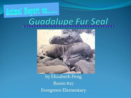 By Elizabeth Peng Room #27 Evergreen Elementary. What is a Guadalupe Fur Seal? The Guadalupe fur seal is the rarest of all the fur seals. They are part.