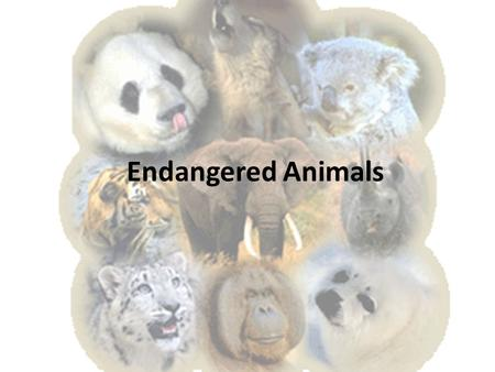Endangered Animals. Animal species can be classified as the following: An animal that is extinct means that it is no longer living in the world today.