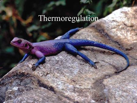Thermoregulation.