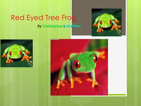 Red Eyed Tree Frog By Christopher & Matthew. Classification  The Red Eyed Tree Frog is believed to have developed its vivid scarlet eyes to shock predators.