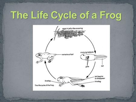 Frogs lay their eggs in water. A female frog can lay many eggs. The group of eggs are called frogspawn.