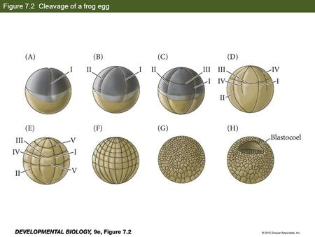 Figure 7.2 Cleavage of a frog egg. Figure 7.3 Scanning electron micrographs of frog egg cleavage.