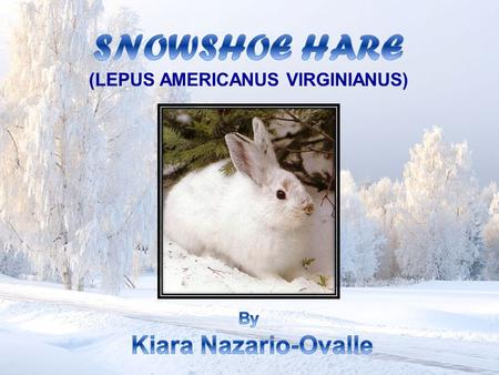  Snowshoe hares belong to the mammals. They look like rabbits but they are bigger in size.  They are common in cold temperature zones of the world.