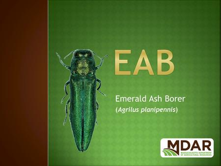 Emerald Ash Borer (Agrilus planipennis).  Native to Asia: China, Russia, Japan, Korea.  Thought to have been introduced in the 1990's in solid wood.