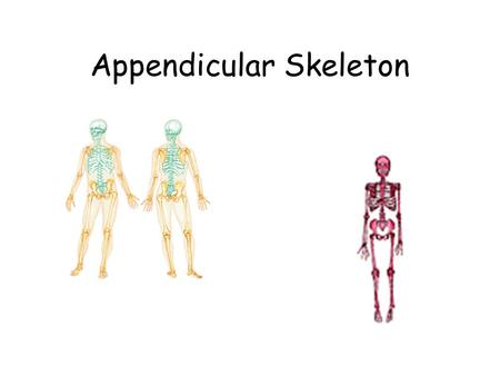 Appendicular Skeleton. 126 bones – suspended by girdles from axial skeleton Designed for movement Pectoral girdle – 4 bones Upper extremity -Arm – 1 bone.