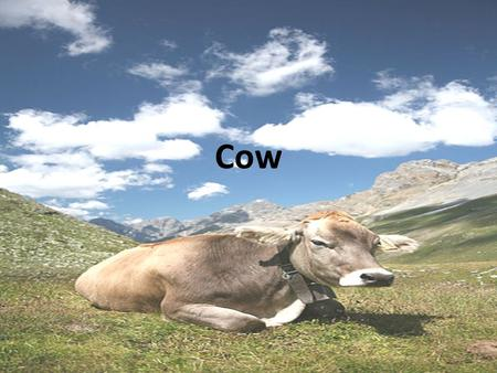 Cow. Cattle are raised as livestock for meat (beef and veal), as dairy animals for milk and other dairy products, and as draft animals (oxen / bullocks)
