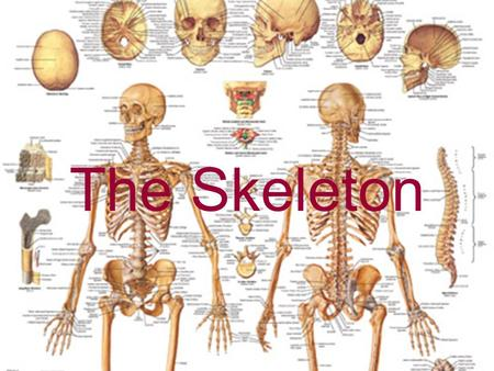 The Skeleton. Two Divisions Axial Appendicular Axial Skeleton.