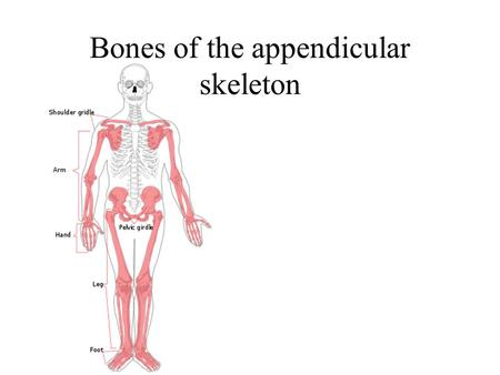 Bones of the appendicular skeleton