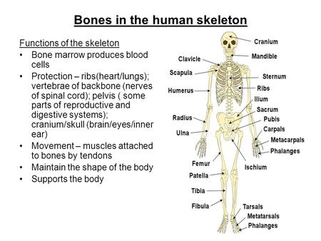 skeletal system. - ppt video online download, Skeleton