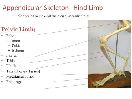 Appendicular Skeleton- Hind Limb