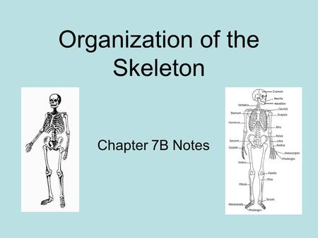 Organization of the Skeleton