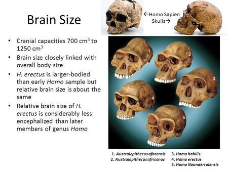 Brain Size Cranial capacities 700 cm3 to 1250 cm3