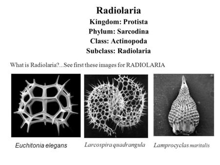 Radiolaria Kingdom: Protista Phylum: Sarcodina Class: Actinopoda Subclass: Radiolaria What is Radiolaria?...See first these images for RADIOLARIA Lamprocyclas.