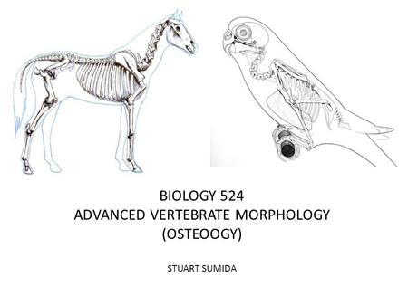 BIOLOGY 524 ADVANCED VERTEBRATE MORPHOLOGY (OSTEOOGY) STUART SUMIDA.