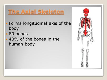 The Axial Skeleton Forms longitudinal axis of the body 80 bones 40% of the bones in the human body.