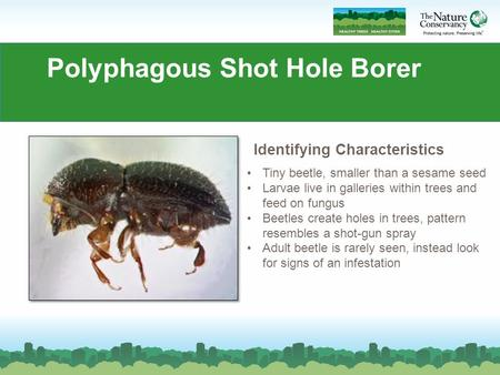 Polyphagous Shot Hole Borer Tiny beetle, smaller than a sesame seed Larvae live in galleries within trees and feed on fungus Beetles create holes in trees,