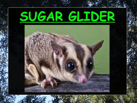 SUGAR GLIDER. What does it look like? The sugar glider: Is 40 cm long It has light brown and dark brown fur. The sugar glider has 4 legs. Has big eyes.