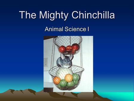 The Mighty Chinchilla Animal Science I. About Chinchillas… Originated in South America –Lives in Andes mountains Nearly became extinct!! –Because of fur.