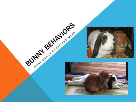 BUNNY BEHAVIORS WHAT BUNNY BEHAVIORS MEAN. HERE ARE NICHOLAS AND MUFFIN. THEY WILL BE DOING MANY DIFFERENT BEHAVIORS TODAY. ALL OF THE BEHAVIORS HAVE.