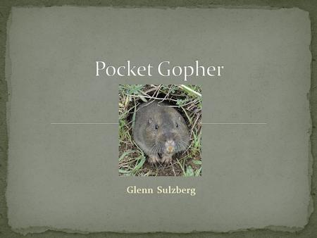 Glenn Sulzberg. Burrowing rodent – get their name from the fur-lined, external cheek pouches, or pockets, they use for carrying food and nesting materials.